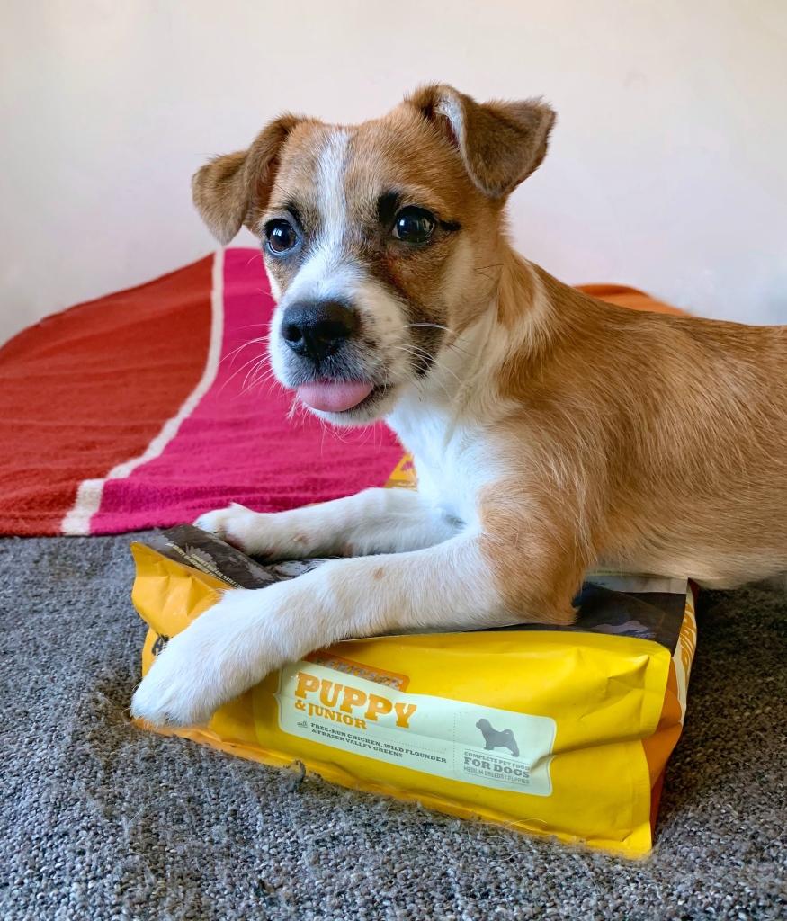Szczeniak siedzi na worku karmy dla psa ACANA Puppy